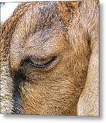 Goat Lashes Metal Print