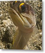 Gold-speck Jawfish Pouting, North Metal Print