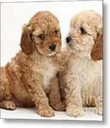 Golden Cockerpoo Puppies Metal Print