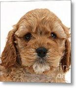 Golden Cockerpoo Puppy Metal Print