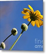 Golden Daisy On Blue Metal Print