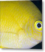 Golden Damsel Close-up, Papua New Metal Print