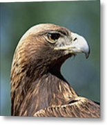 Golden Eagle In Profile Metal Print