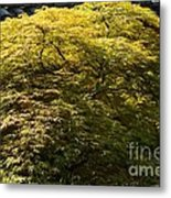 Golden Japanese Maple Metal Print