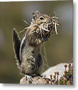 Golden-mantled Ground Squirrel Metal Print