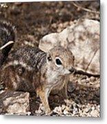 Golden Mantled Squirrel Metal Print