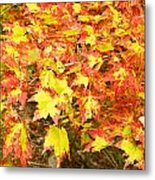 Golden Maple Leaves Metal Print
