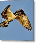 Golden Osprey In Dawn's Early Light Metal Print