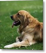 Golden Retriever Dog Laying In The Grass Metal Print