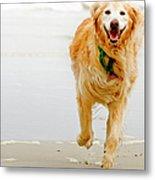 Golden Retriever Running On Beach Metal Print by Stephen O'Byrne