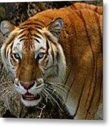 Golden Tabby Bengal Tiger Metal Print