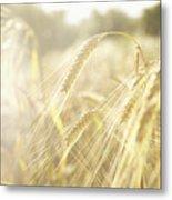 Golden Wheat Field In Sunlight, Close-up Metal Print
