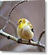 Goldfinch In March Metal Print