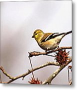 Goldfinch In Sweetgum Metal Print