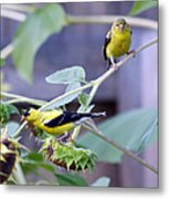 Goldfinch Pair Metal Print