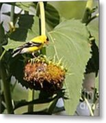 Goldfinch Picking The Seed  Metal Print