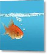 Goldfish Carassius Auratus Metal Print