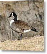 Goose Standing Still Metal Print