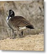 Goose With Head Cocked  Metal Print