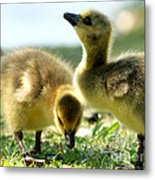Goslings 6 Metal Print