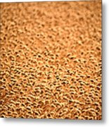 grain crop ripening in Saskatchewan Metal Print