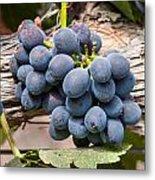 Grape Cluster Vine Metal Print