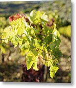 Grape Leaves Metal Print by Jeremy Woodhouse