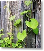 Grape Vines On An Old Barn Metal Print