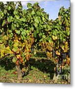 Grapes Growing On Vine Metal Print
