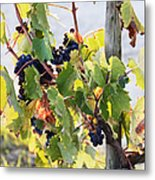 Grapes On Vine Metal Print by Jeremy Woodhouse