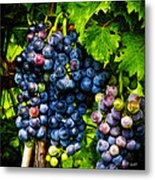 Grapes Ready For Harves Metal Print