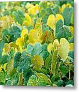 Grapevines In Azores Islands Metal Print