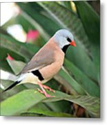 Grass Finch Metal Print