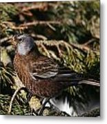 Gray-crowned Rosy Finch Metal Print
