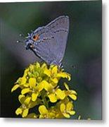Gray Hairstreak Butterfly Din044 Metal Print