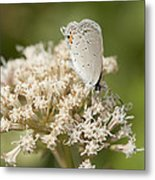 Gray Hairstreak Butterfly On Milkweed Wildflowers Metal Print