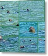Gray Seals At Chatham - Cape Cod Metal Print