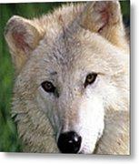 Gray Wolf Face Metal Print