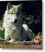 Gray Wolf ... Montana Art Photo Metal Print