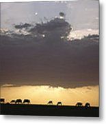 Grazing Cattle Silhouetted Metal Print