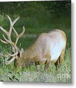 Grazing Elk Metal Print