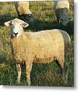 Grazing Sheep. Metal Print