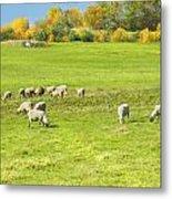 Grazing Sheep On Farm In Autumn Maine Metal Print