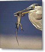 Great Blue Heron Ardea Herodias Preying Metal Print