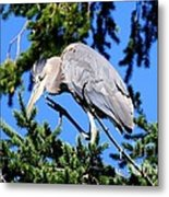 Great Blue Heron Concentration Metal Print