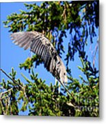 Great Blue Heron Cover Up Metal Print