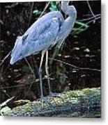 Great Blue Heron, Florida Metal Print