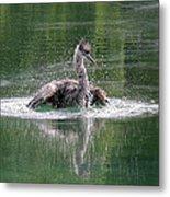 Great Blue Heron Having A Bath Metal Print
