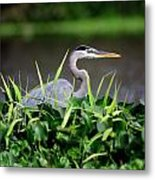 Great Blue Heron Hiding In The Grasses Metal Print