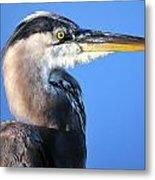 Great Blue Heron Portrait Blue Metal Print